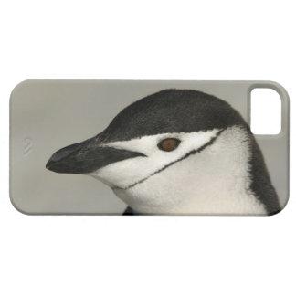 Antarctica, Half Moon Island. Close-up of adult iPhone 5 Cases