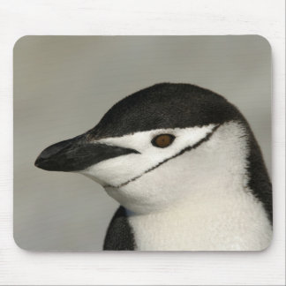 Antarctica, Half Moon Island. Close-up of adult Mouse Mat