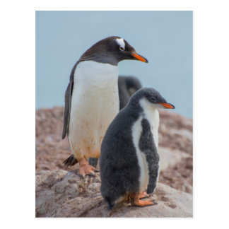Antarctica. Neko Harbor. Gentoo Penguin 3 Postcard