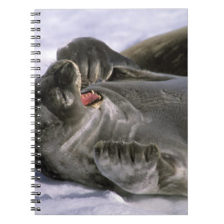 Antarctica, Nelson Island. Southern Furl seal Notebooks