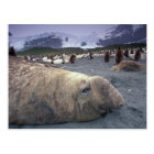 Antarctica, South Georgia Island, Elephant seal Postcard