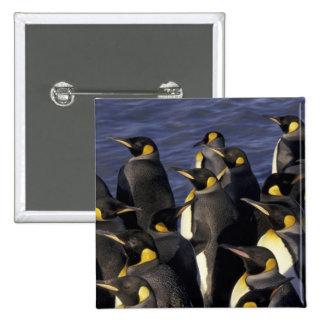 Antarctica, South Georgia Island. King penguins 2 15 Cm Square Badge