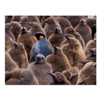 Antarctica South Georgia Island King penguins Post Cards