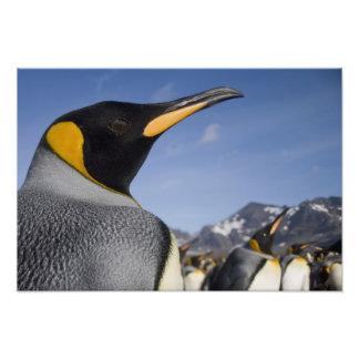 Antarctica, South Georgia Island UK), King 2 Photo Print