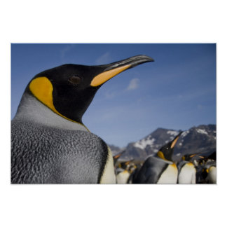 Antarctica, South Georgia Island UK), King 2 Poster