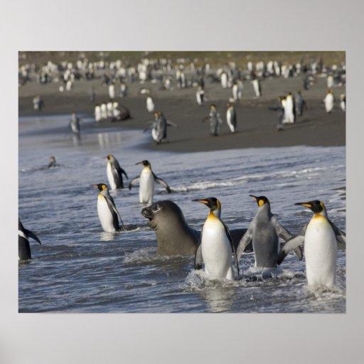 Antarctica, South Georgia Island (UK), King 4 Poster