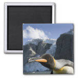 Antarctica, South Georgia Island UK), King 4 Square Magnet