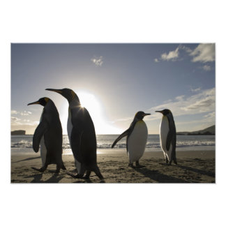 Antarctica, South Georgia Island UK), King 7 Art Photo