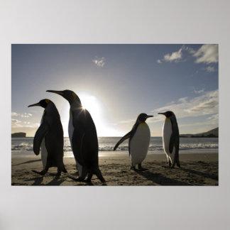 Antarctica, South Georgia Island UK), King 7 Poster