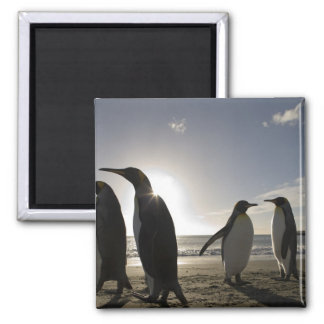 Antarctica, South Georgia Island UK), King 7 Square Magnet