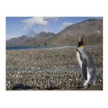 Antarctica, South Georgia Island (UK), King 8 Postcard