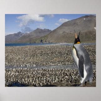 Antarctica, South Georgia Island (UK), King 8 Poster