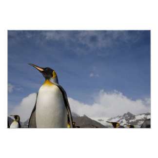 Antarctica, South Georgia Island UK), King Poster