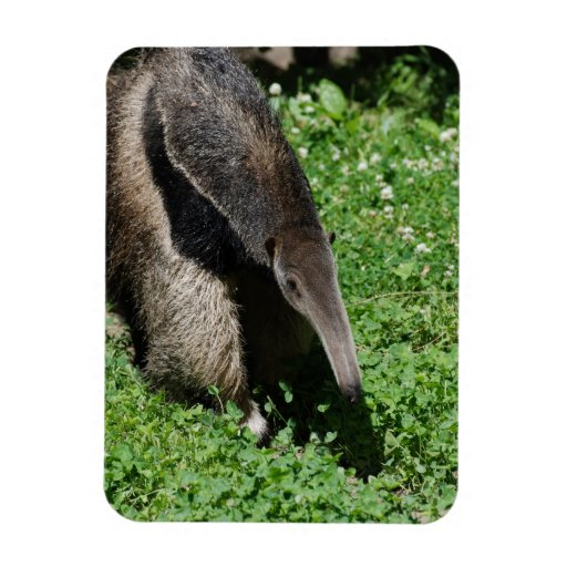 Anteater in Field Rectangle Magnet