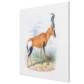 Antelope, from 'The Book of Antelopes', Canvas Print