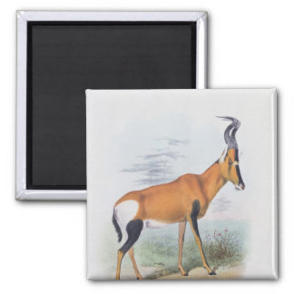 Antelope, from 'The Book of Antelopes', Magnet