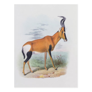 Antelope, from 'The Book of Antelopes', Postcard