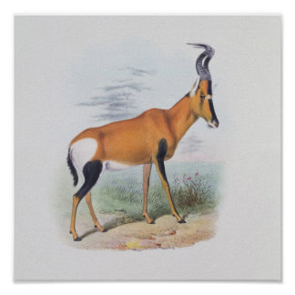 Antelope, from 'The Book of Antelopes', Poster