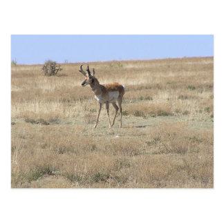 Antelope in Profile Postcard