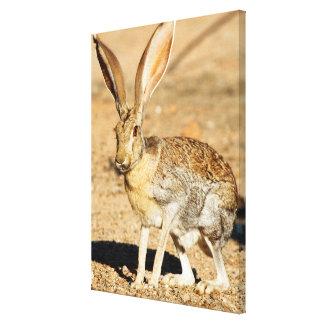 Antelope jackrabbit portrait, Arizona Canvas Print