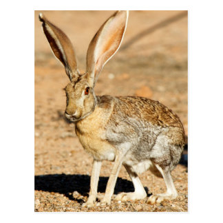 Antelope jackrabbit portrait, Arizona Postcard