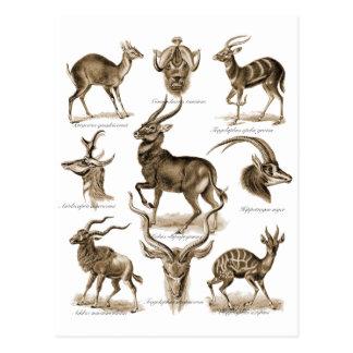 Antelopes Postcard