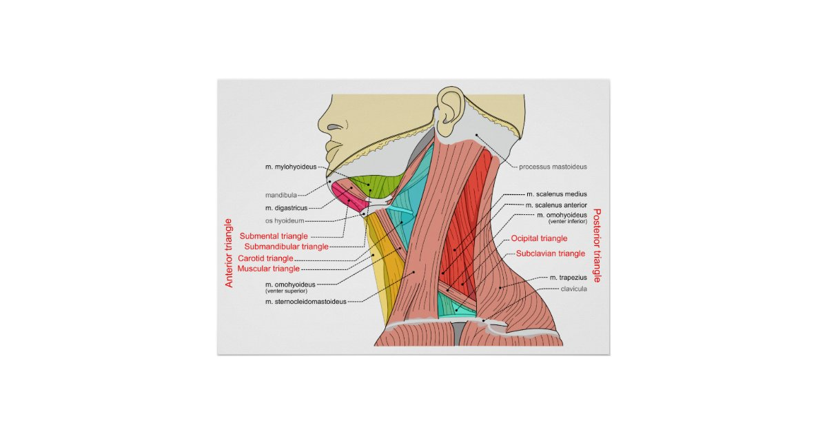 Anterior & Posterior Triangles of the Neck Muscles Poster   Zazzle.co.uk