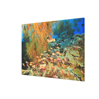 Anthias fish and black coral, Wetar Island, Canvas Print