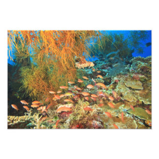 Anthias fish and black coral, Wetar Island, Photo Print