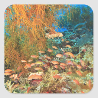 Anthias fish and black coral, Wetar Island, Square Sticker