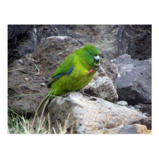 Antipodes Island Parakeet Postcards