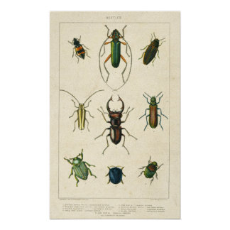 Antique Beetle Chart on Old Stained Paper Poster