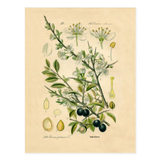 Antique Botanical Print - Blackthorn Postcard