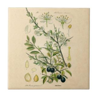 Antique Botanical Print - Blackthorn Tile