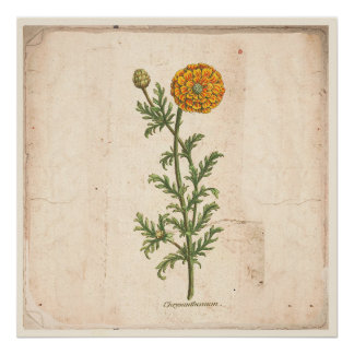 Antique Botanical Print Poster Chrysanthemum