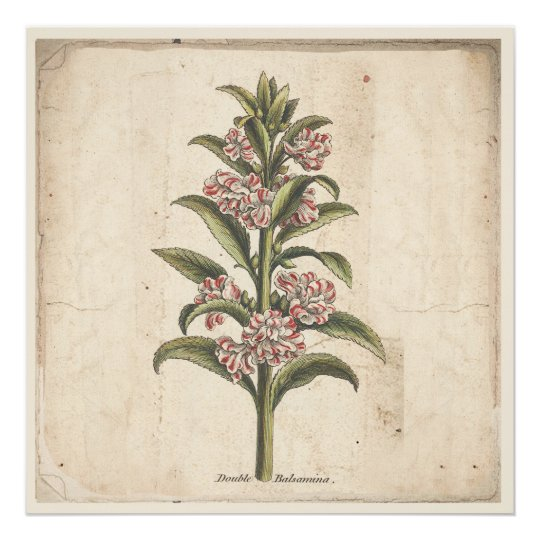 Antique Botanical Print Poster Double Balsamina