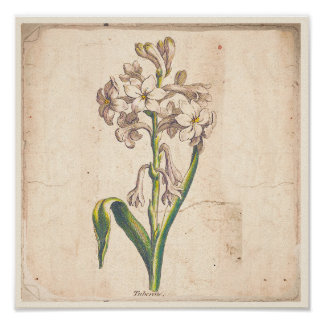 Antique Botanical Print Poster Tuberoses