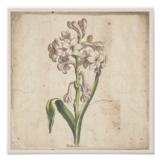 Antique Botanical Print Poster Tuberoses