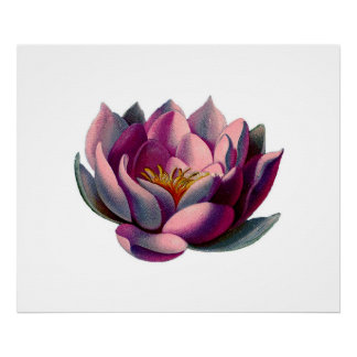Antique Botanicals Pink Water Lily Lotus Posters