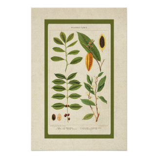Antique Coffee Botanical Beverage Plants Chart Poster