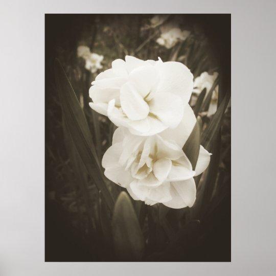 Antique Daffodil Print