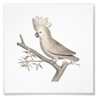 Antique Engraving of a Cockatoo Histoire Naturelle Photograph