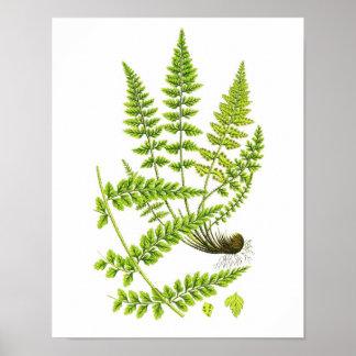 Antique Fern Print No.6 Green Nature Botanical Art