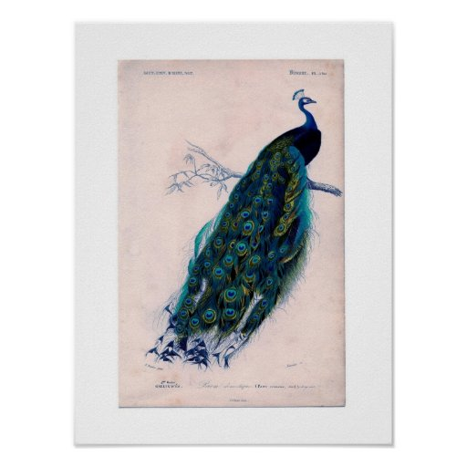 Antique Natural History Print Peacock Poster