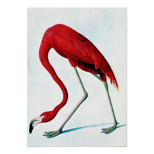 Antique plate American red flamingo Audubon Print