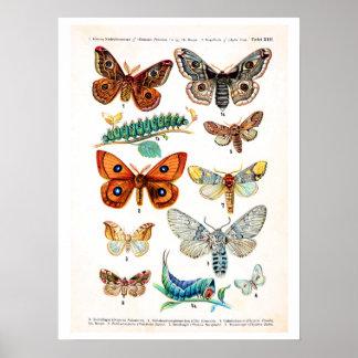 Antique plate, butterflies of Europe: plate 13 Print
