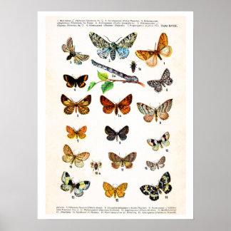 Antique plate, butterflies of Europe: plate 18 Print