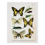 Antique plate, butterflies of Europe, plate 1 Poster
