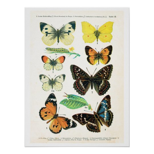 Antique plate, butterflies of Europe: plate 2 Poster