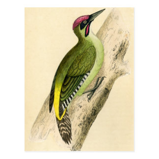 Antique Print of a Green Woodpecker Postcard